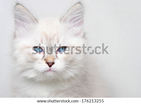 neva masquerade kitten of siberian breed at two months