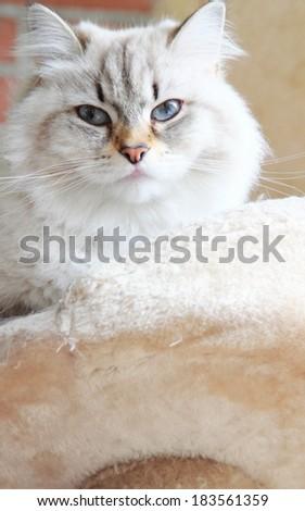 neva masquerade kitten of siberian breed on the scratching post - stock photo
