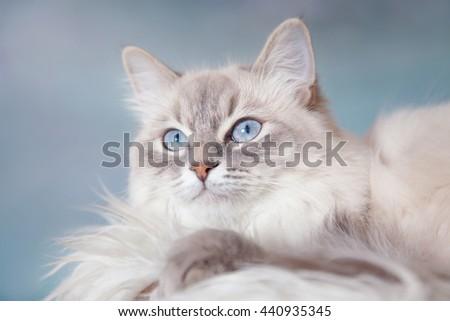 Neva Masquerade silver-tabby point cat lying on white fur on blue sky background  - stock photo