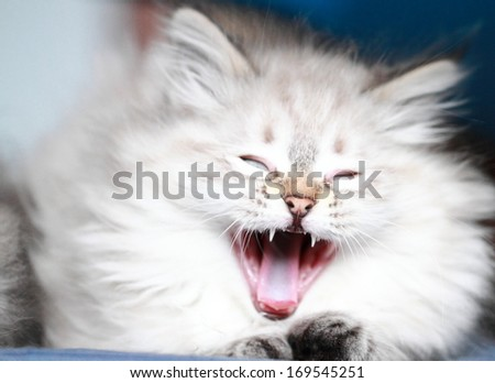 neva masquerade version of siberian cat, puppy at two months