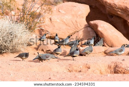 Nevada State Park: Valley of Fire.  The Gambel's quail (Callipepla gambelii) congregate into coveys of many birds - stock photo