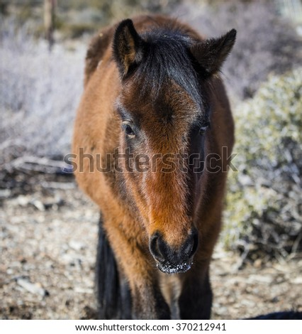 Nevada wild horse with snow on her nose - stock photo