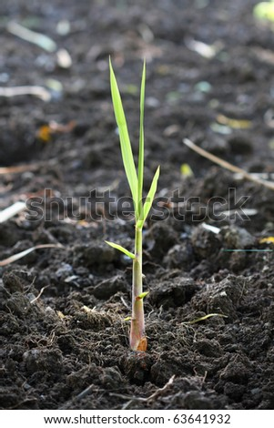 new beginning. A fresh, seed-cane growing in the plantation field. - stock photo