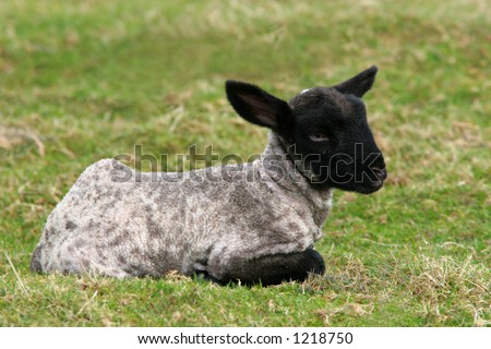 New born black, white and grey speckled lamb sitting in a field in spring.