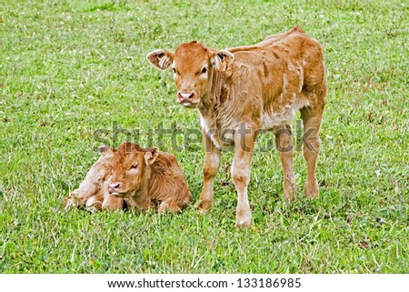 New born calves in the meadow in springtime
