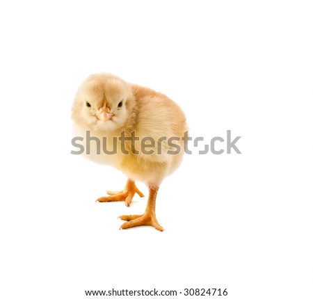 new born chick isolated on white - stock photo