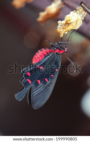 New born common rose butterfly (Pachliopta aristolochiae goniopeltis) with cocoon  - stock photo