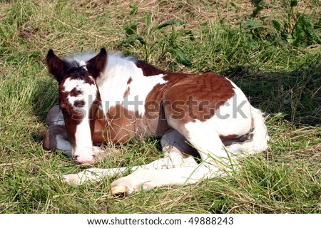 New born filly foal sleeping - stock photo