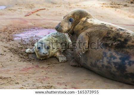 New born grey seal pup (Halichoerus grypus) on the beach with it's mother, Donna Nook, UK - stock photo
