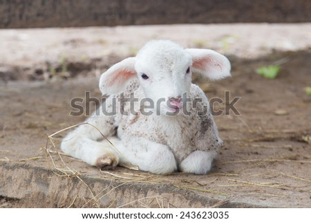 New born lamb. - stock photo