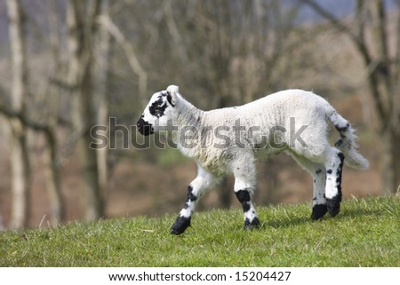 New born lamb running in a green field, black and white markings