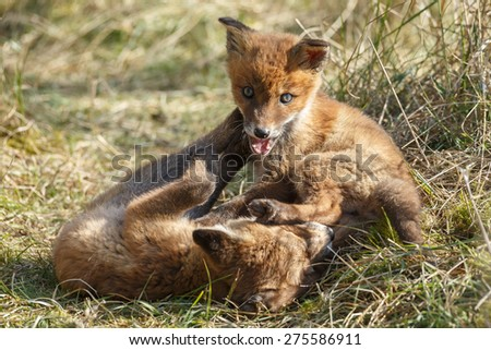 New born red fox cub playing - stock photo