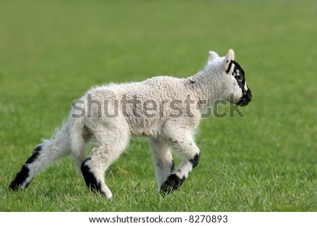 New born white and black speckled lamb running on the grass in spring. - stock photo
