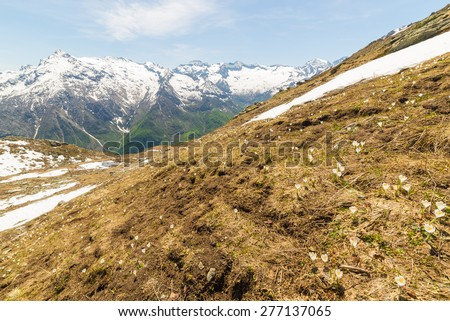 New born white and yellow flowers (pulsatilla alpina, alpine pasqueflower or alpine anemone) with melting snow in the foreground and snowcapped mountain range in the background. Piedmont, italian Alps - stock photo