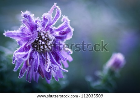New England aster in ice crystal - stock photo