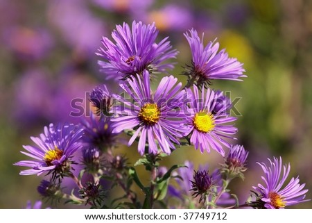 New England Asters - stock photo