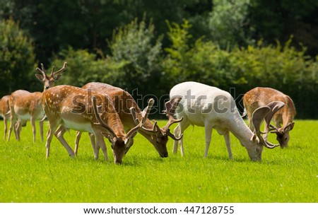 New Forest wild deer red and albino white near Lyndhurst England uk