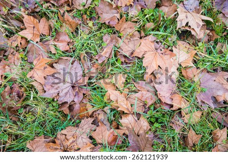 New fresh green grass growing at the beginning of the spring between the brown tree leaves that have fallen in the autumn season. It is still early in the morning and the grass is wet by dew droplets. - stock photo