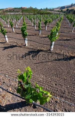 New grape vines grow in rows with hill and a house are in the background - stock photo