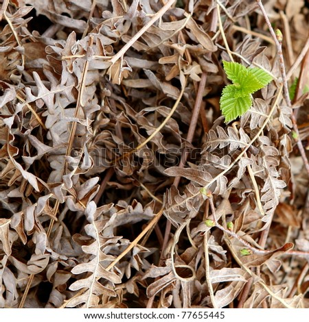 New green leaf emerging from dried fern fronds - stock photo