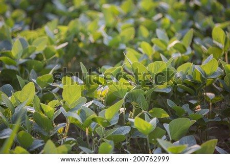 New green Soy bean plants - stock photo