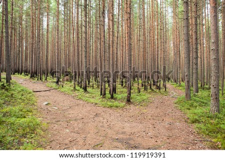 New growing pines in forest after fire - stock photo