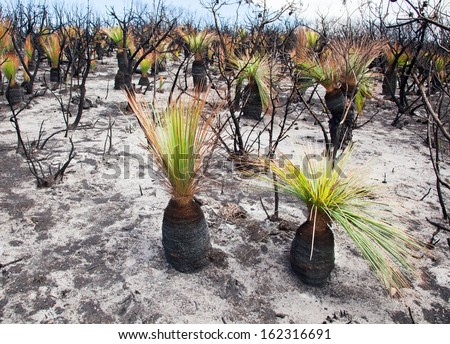 New growth at Catherine Hill Bay a fortnight after massive fire - stock photo