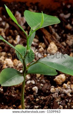 New Growth - Orange Seedling in Soil - stock photo