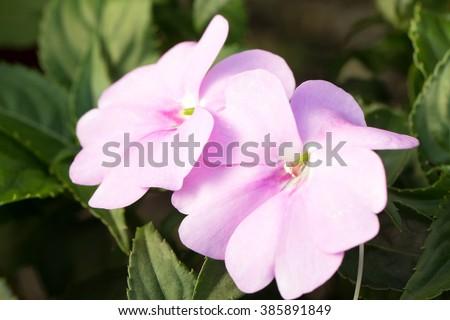 New Guinea impatiens' cute pink flowers closeup (Impatiens hawkeri) - stock photo