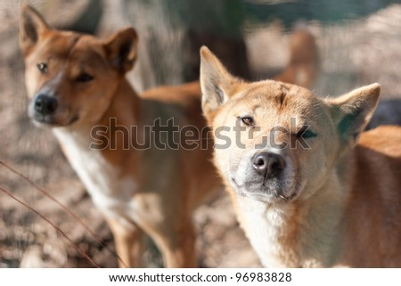 New Guinea Singing Dog (Canis dingo hallstromi) - stock photo