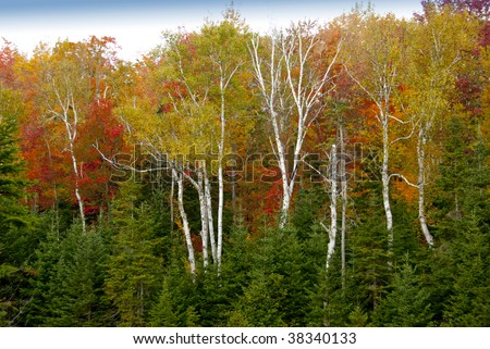 New Hampshire fall scene of white birches on red,orange and red leaf background