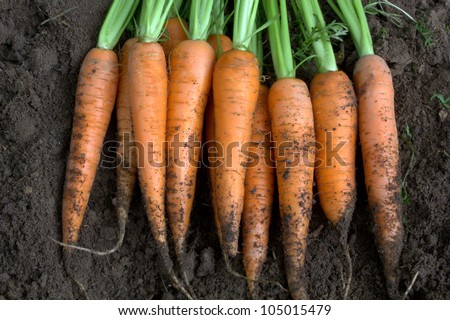 New harvest fresh organic carrots - stock photo
