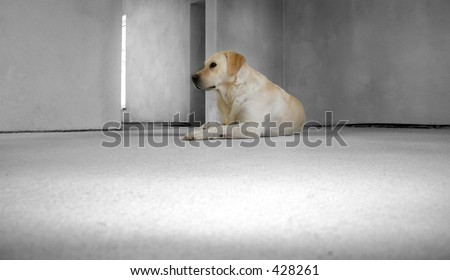 New House Dog Labrador retriever in an unfinished home - stock photo