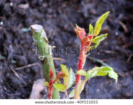 New leaves of grafted rose plants in flower bed soil close up macro. - stock photo