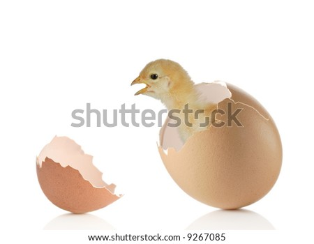 New life - Baby chicken coming out of an eggshell - stock photo