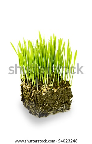 New life - Bunch of young wheat sprouts - stock photo