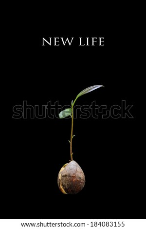 New Life Concept with an Avocado Seedling Isolated on a Black Background - stock photo