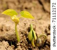 New life of haricot on dry soil. Shallow DOF. - stock photo