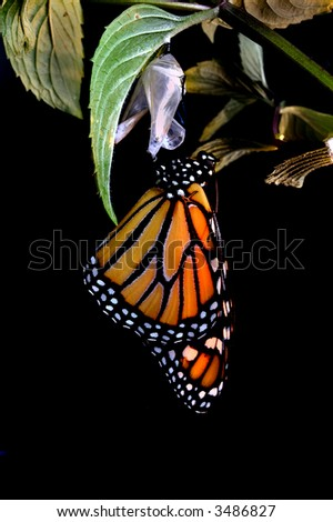 New Monarch Butterfly - stock photo