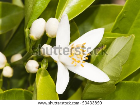 new orange blossoms in the spring.