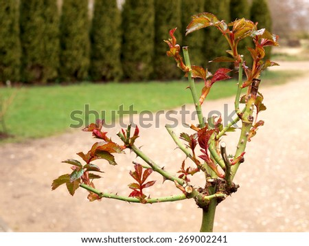 New planted rose with first leaves close up       - stock photo
