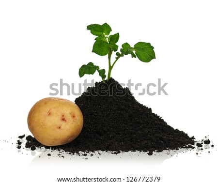 New potato with sprout in black soil isolated on white background - stock photo
