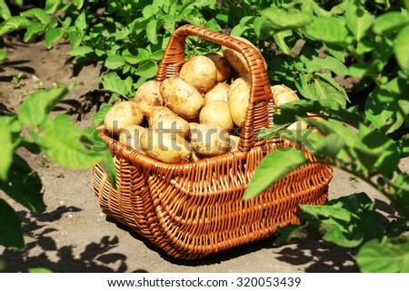 New potatoes in wicker basket over potato plantation - stock photo