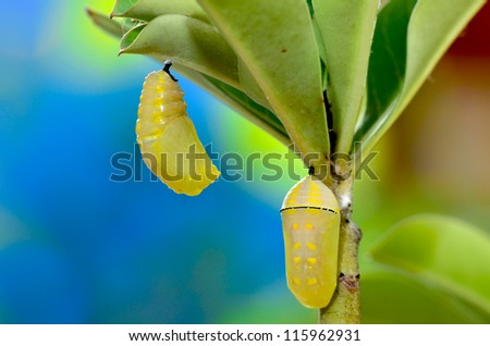 New pupa and pupa after 2 hour process pupation (Pupa Plain Tiger Butterfly) - stock photo