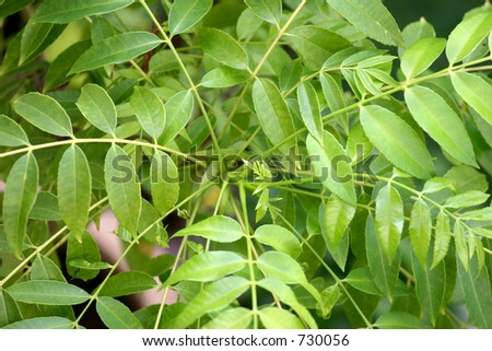New shoot and leaves of a Malaysian curry plant