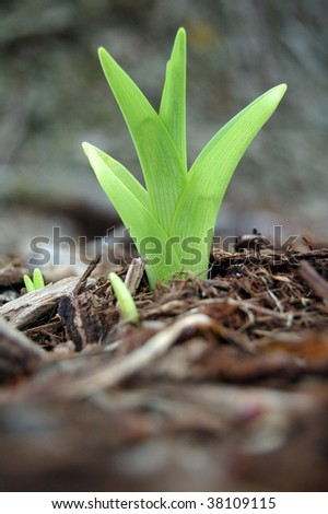New spring plant day lilies growing in mulch