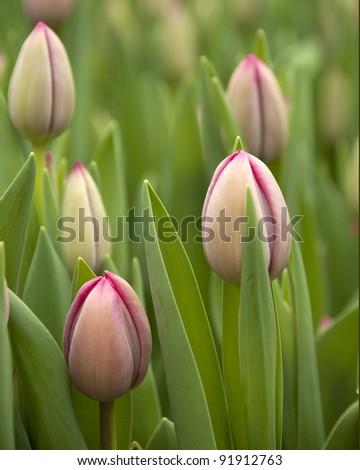 New tulips - stock photo
