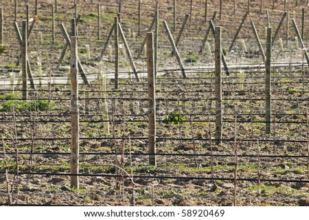 New vineyards with  training and irrigation system,  Alentejo, Portugal - stock photo