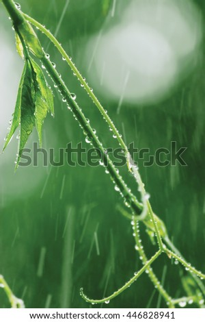New Virginia Victoria Creeper Leaves Early Summer Rain Wet Fresh Leaf Rainy Day Background Large Detailed Vertical Parthenocissus Quinquefolia Five-leaved Five-finger Ivy Macro Closeup Pattern Bokeh - stock photo