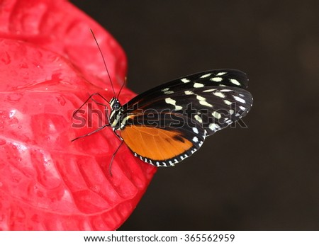 New World Hecale Tiger Longwing, also known as Golden Heliconian. Posing on a red tropical flower. - stock photo